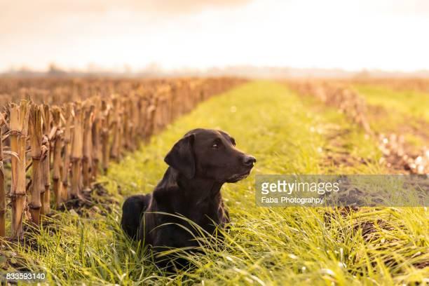 dog outside in the fields - cão adestrado - fotografias e filmes do acervo
