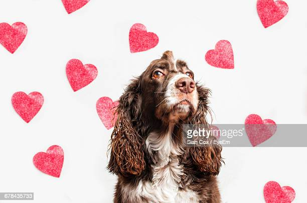 dog over white background with red heart shapes - english springer spaniel stock pictures, royalty-free photos & images