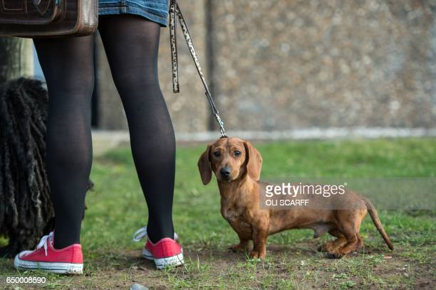 Dog owner arrives with her miniature smooth dachshund dog on the first day of the Crufts dog show at the National Exhibition Centre in Birmingham,...