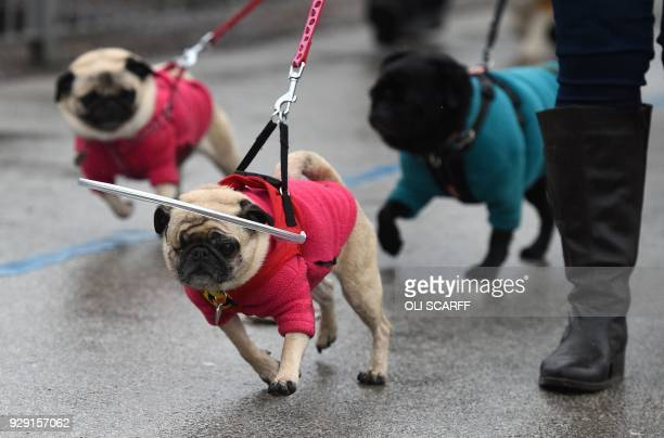 Dog owner arrives with their dogs on the first day of the Crufts dog show at the National Exhibition Centre in Birmingham, central England, on March...