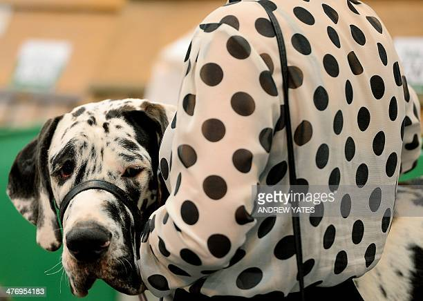 Dog owner carries her dog during the first day of Crufts on March 6, 2014 in Birmingham central England. The annual event sees dog breeders from...