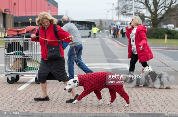 Dog owner leads a dalmatian wearing a spotted coat as they arrive on the second day of Crufts Dog Show at the NEC Arena on March 10, 2017 in...