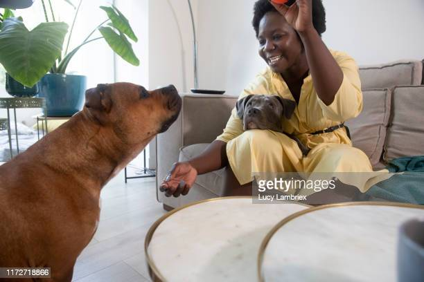 dog owner playing with her dogs and a ball - lucy lambriex stockfoto's en -beelden