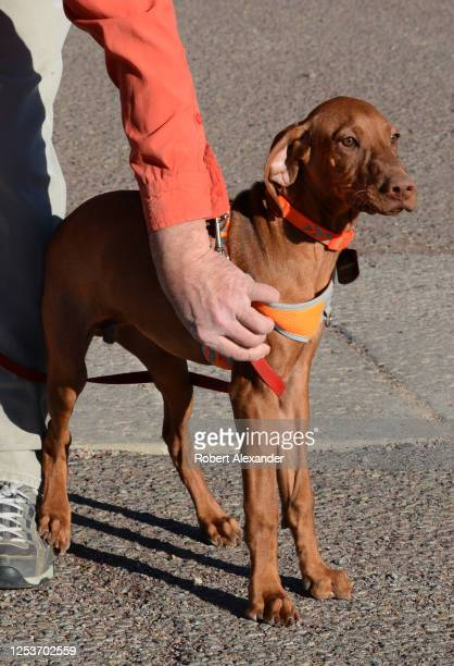 Dog owner walks his young Vizsla dog in Santa Fe, New Mexico. The Vizsla is a dog breed from Hungary recognized by the American Kennel Club in 1960.