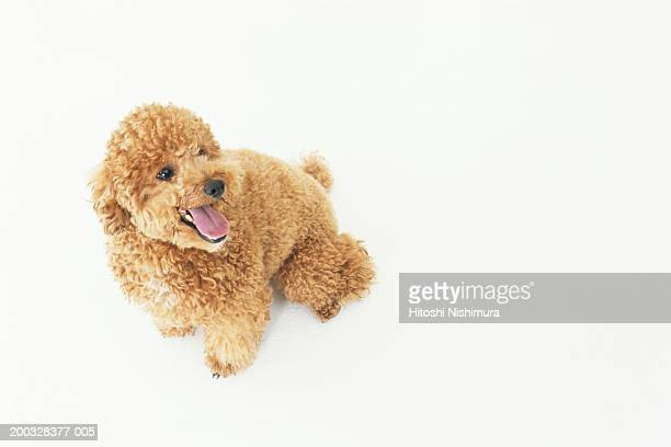 dog panting, close-up, elevated view - miniature poodle stock photos and pictures