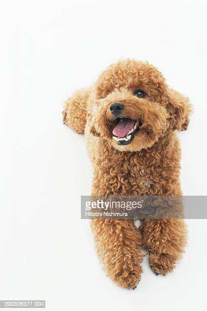 dog panting, close-up, portrait - miniature poodle stock photos and pictures