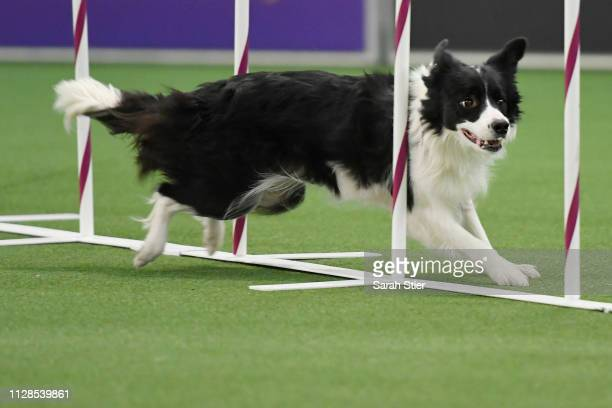 A dog participates in the Masters Agility Championship during the Meet The Breed event at Piers 92/94 ahead of the 143rd Westminster Kennel Club Dog...