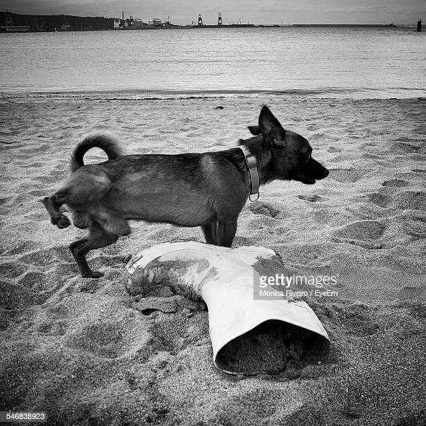 Dog Peeing By Abandoned Gum Boot On Sandy Beach