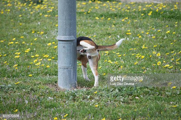 dog peeing - urinating stock pictures, royalty-free photos & images