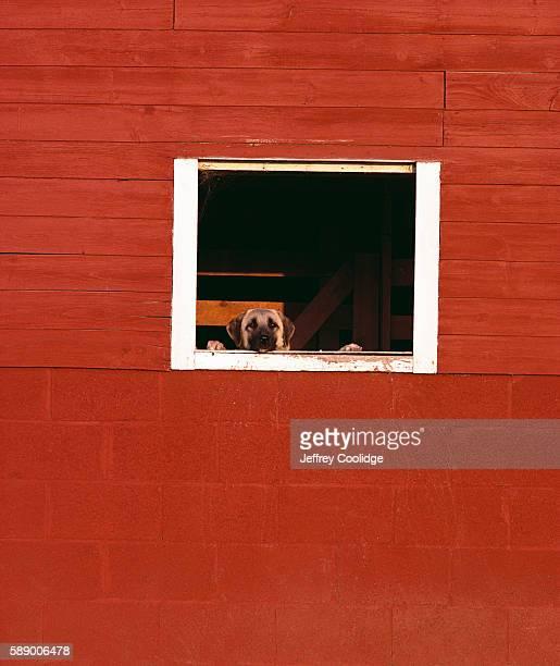 Dog Peeking out Barn Window