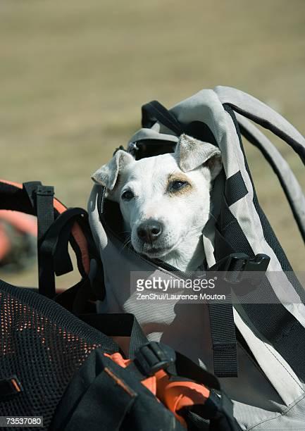 Dog peeking out of backpack
