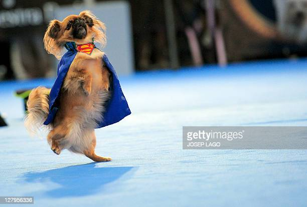 A dog performs during a comedy dog show by Leonid Beljakov's at the Pet fair in Barcelona on October 1 2011 AFP PHOTO/ JOSEP LAGO