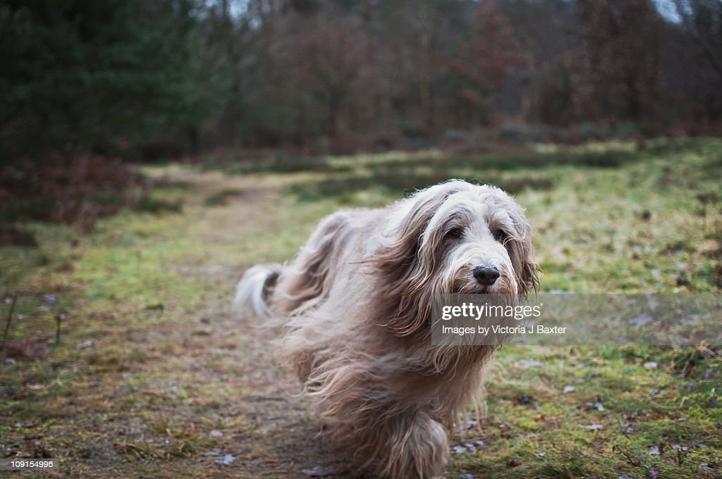 Dog Pet Bearded collie Countryside : Stock Photo