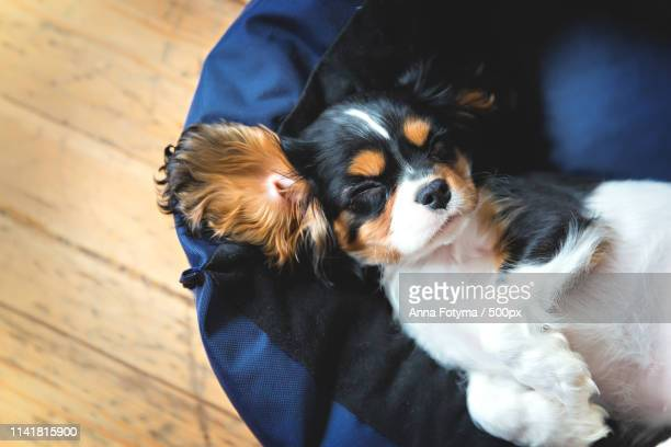 dog photo - cavalier king charles spaniel stock pictures, royalty-free photos & images