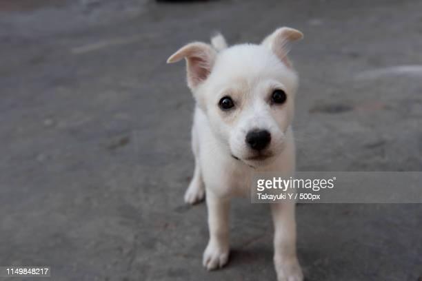 dog photo - アイリッシュウルフハウンド ストックフォトと画像
