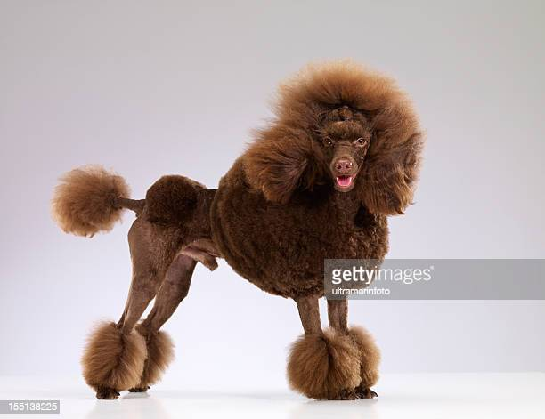 dog - miniature poodle stock photos and pictures