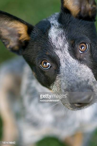 dog - australian cattle dog stock photos and pictures