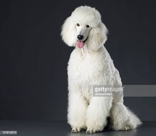 cachorro - poodle - fotografias e filmes do acervo