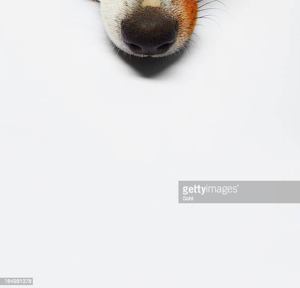 dog - nose stock pictures, royalty-free photos & images