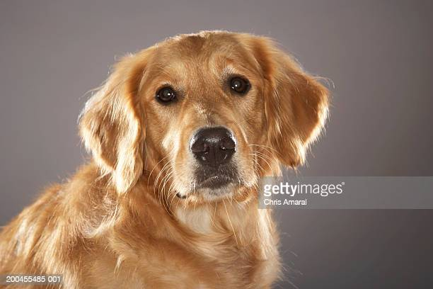 dog - ゴールデンレトリバー ストックフォトと画像