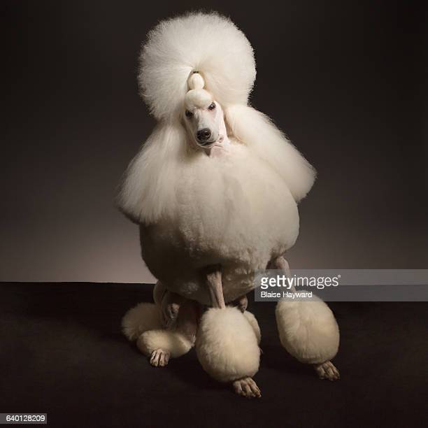 dog - poodle stock pictures, royalty-free photos & images