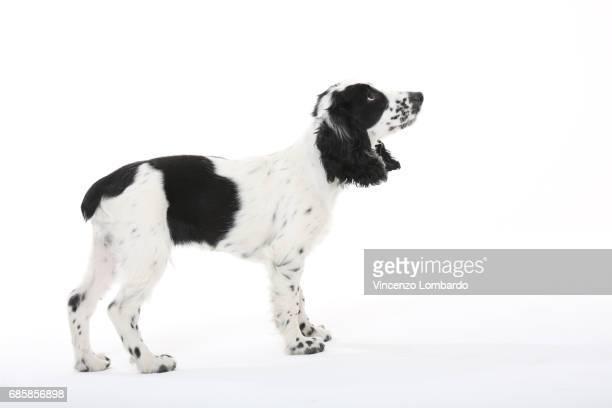 dog - cocker spaniel foto e immagini stock