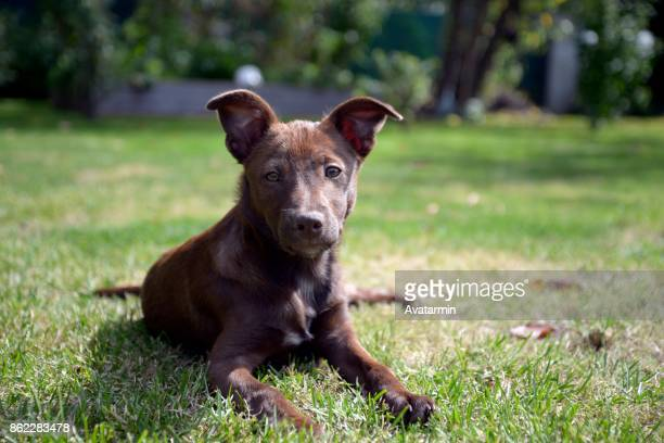 dog - miniature pinscher stock photos and pictures