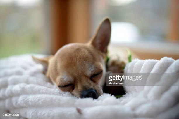 dog - pinscher nano foto e immagini stock