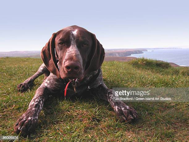 a dog - german shorthaired pointer stock pictures, royalty-free photos & images