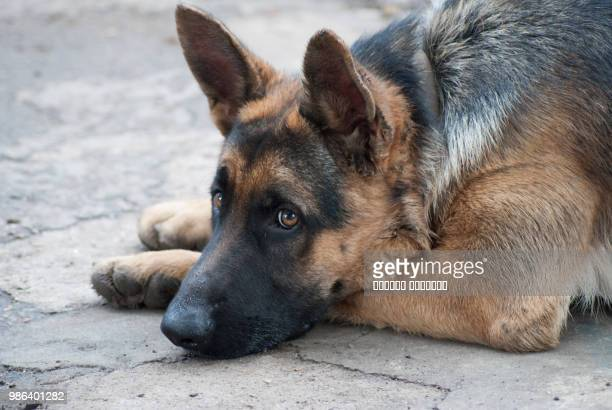 dog - berger allemand photos et images de collection