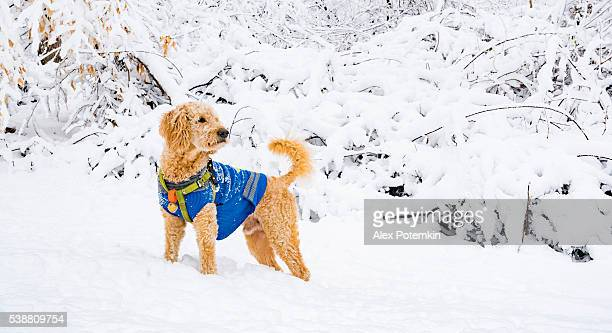 Dog play in the snow in the forest after snowfall