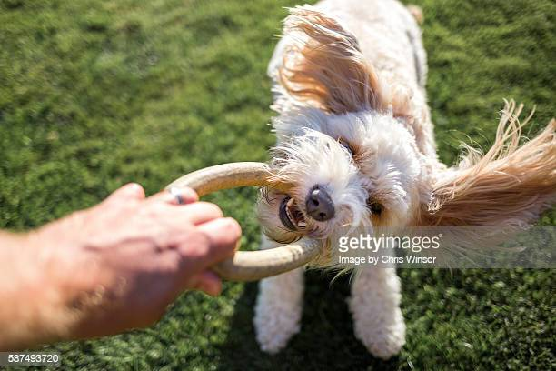 dog play - domestic animals stock pictures, royalty-free photos & images