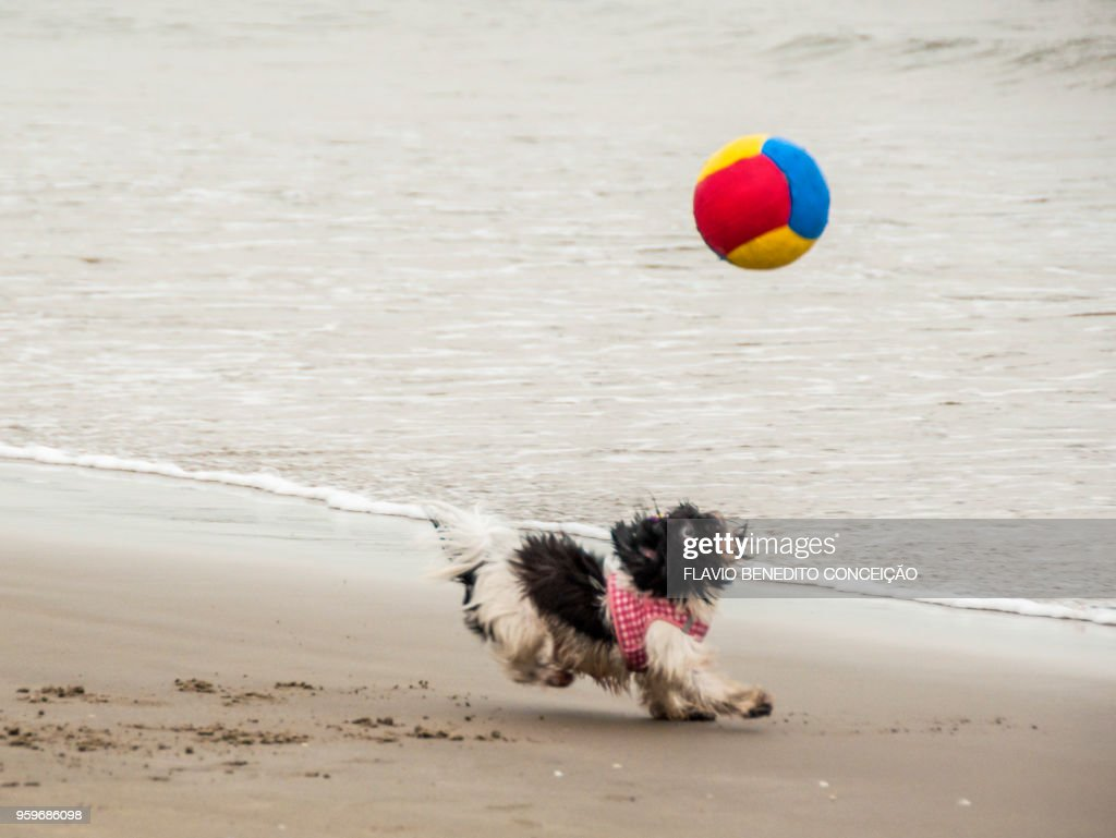 dog playing and running after the ball on the beach : Stock-Foto