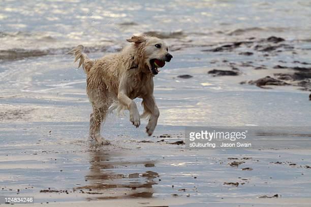 dog playing at beach - s0ulsurfing stock-fotos und bilder