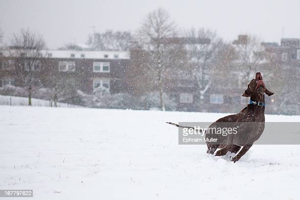 Dog playing ball during the Siberian Big Freeze which transformed Primrose Hill in London into a snowy hinterland