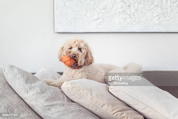 Dog playing ball up sofa