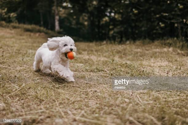 屋外でフェッチゲームをプレイ犬 - イヌのおもちゃ ストックフォトと画像