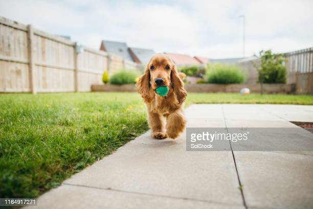 dog playing fetch - pampered pets stock pictures, royalty-free photos & images