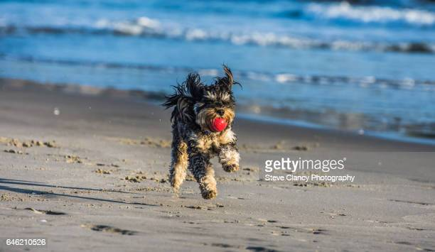 dog playing fetch - mount maunganui stock pictures, royalty-free photos & images