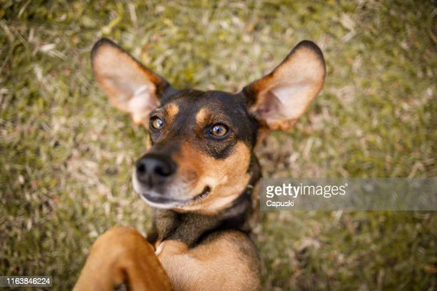 dog playing lying on grass - mixed breed dog stock pictures, royalty-free photos & images