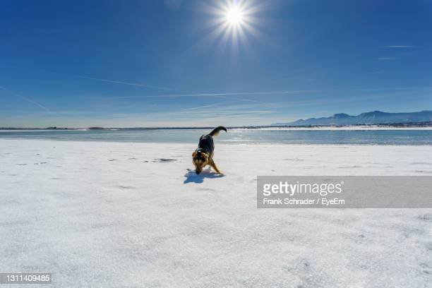 dog playing on a frozen lake. - frank schrader stock pictures, royalty-free photos & images