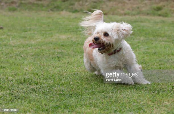 dog playing on grass - one animal stock pictures, royalty-free photos & images
