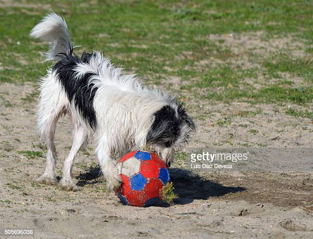 dog playing on the beach - chinook dog stock photos and pictures
