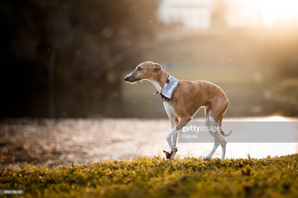Hund spielen : Stock-Foto