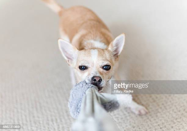 dog  playing tug of war - dogs tug of war stock pictures, royalty-free photos & images