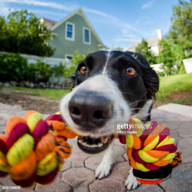 dog playing tug with rope toy - dogs tug of war stock pictures, royalty-free photos & images