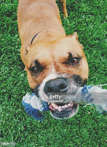 dog playing tug-of-war - dogs tug of war stock pictures, royalty-free photos & images
