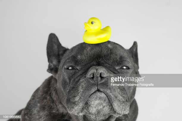 Dog playing with a rubber ducky