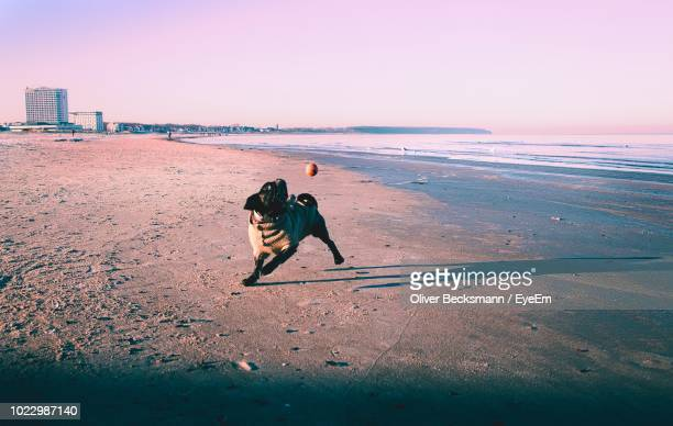 Dog Playing With Ball At Beach Against Clear Sky