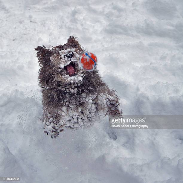 Dog playing with ball in snow